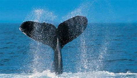 Walbeobachtung Hermanus | Things to do Overberg | Whale