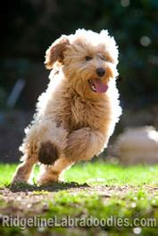 Breed Info - Australian Labradoodle History and